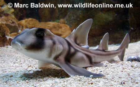 Young Port Jackson Shark,