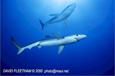 Blue Shark (Prionace glauca) © David Fleetham david@davidfleetham.com