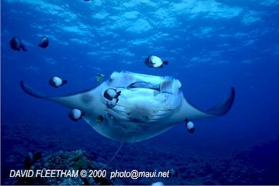 Manta Ray (Manta birostris) © David Fleetham david@davidfleetham.com