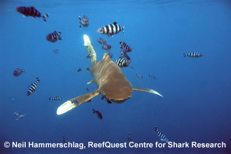 Oceanic Whitetip  � Neil Hammerschlag, ReefQuest  Centre for Shark Research