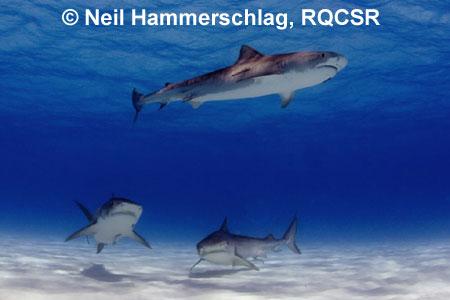 freshwater bull sharks