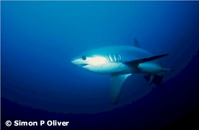 Pelagic Thresher (Alopias pelagicus), Photographer Simon P. Oliver