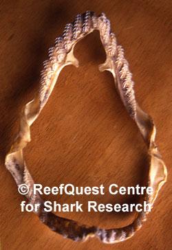 shark diet