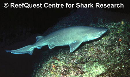 Bluntnose Sixgill Shark Fast Fact