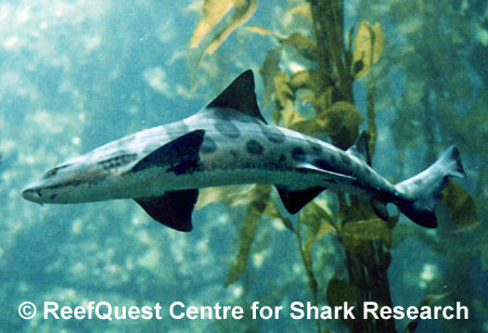Leopard Shark picture 2
