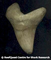 A Guide To Fossil Shark Teeth